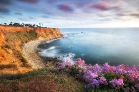 Purple flowers at sunset. Rancho Palos Verdes, CA
